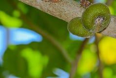 Αυτό το auriculata ficus σύκων Roxburgh γνωστό επίσης ως δέντρο σύκων φραουλών καρύδων και σύκων αυτιών ελεφάντων αυξάνεται σε βρ Στοκ εικόνα με δικαίωμα ελεύθερης χρήσης