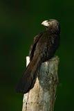 Αυλάκι-τιμολογημένο Ani, sulcirostris Crotophaga, μαύρο πουλί με τον παχύ λογαριασμό, τροπικό specie του κούκου, στον άγριο βιότο Στοκ Εικόνες