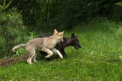 Αυλάκωμα παιχνιδιού δύο γκρίζο κουταβιών λύκων (Λύκος Canis) Στοκ φωτογραφίες με δικαίωμα ελεύθερης χρήσης