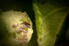 """Αφίδιο, ένα παράσιτο, σε έναν κλάδο δέντρων μηλιάς Οι τροφές εντόμων με τους χυμούς φυτών \ """"s, που καταστρέφουν τα φύλλα, διαδίδ στοκ εικόνες με δικαίωμα ελεύθερης χρήσης"""