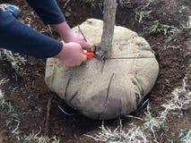 Αφαίρεση Burlap του περικαλύμματος γύρω από το πρόσφατα φυτευμένο δέντρο Στοκ Φωτογραφία