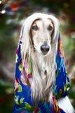 Αφγανικό γκρίζο κυνηγόσκυλο σε ένα μαντίλι Στοκ Εικόνα