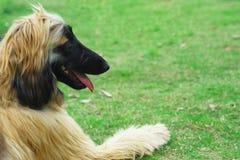 αφγανικό κυνηγόσκυλο σκυλιών Στοκ εικόνες με δικαίωμα ελεύθερης χρήσης
