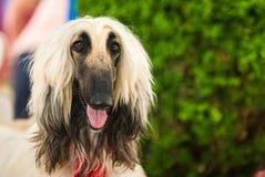 αφγανικό σκυλί Στοκ φωτογραφία με δικαίωμα ελεύθερης χρήσης