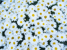 αφηρημένα λουλούδια ανα&si Κινηματογράφηση σε πρώτο πλάνο Στοκ Εικόνα