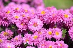αφηρημένα λουλούδια χρώματος χρυσάνθεμων ανασκόπησης στοκ εικόνες με δικαίωμα ελεύθερης χρήσης