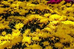 αφηρημένα λουλούδια χρώματος χρυσάνθεμων ανασκόπησης Στοκ εικόνα με δικαίωμα ελεύθερης χρήσης