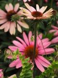 αφηρημένα λουλούδια χρώματος χρυσάνθεμων ανασκόπησης στοκ φωτογραφίες