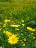 αφηρημένα λουλούδια χρώματος χρυσάνθεμων ανασκόπησης Στοκ Φωτογραφία