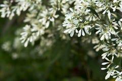 Αφηρημένα λουλούδια Pascuita παραθύρων κειμένου Στοκ φωτογραφία με δικαίωμα ελεύθερης χρήσης