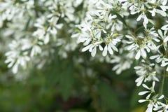 Αφηρημένα λουλούδια Pascuita παραθύρων κειμένου Στοκ Εικόνα