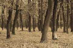 Αφηρημένη άποψη του δρύινου δάσους Στοκ Φωτογραφία