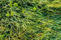 αφηρημένη ανασκόπησης πόλεων όψη σύστασης πάρκων χορτοταπήτων χλόης πράσινη Πράσινη μακροεντολή λεπίδων χλόης στοκ εικόνες με δικαίωμα ελεύθερης χρήσης