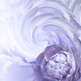 αφηρημένη ανασκόπηση floral Ένα λουλούδι μιας άσπρος-βιολέτας peony σε ένα υπόβαθρο των στριμμένων πετάλων χαιρετισμός καλή χρονι Στοκ Εικόνα