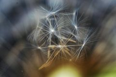 Αφηρημένη εικόνα συμπεριλαμβανομένων των σπόρων 01 πικραλίδων Στοκ Εικόνες