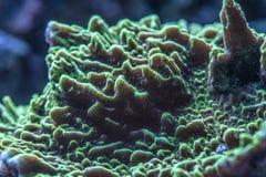 Αφηρημένη εικόνα του σκληρού κοραλλιού στο ενυδρείο θαλασσινού νερού Στοκ Εικόνες
