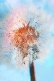 Αφηρημένη μακροεντολή πικραλίδων στοκ εικόνες