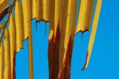 Αφηρημένη μαλακή θολωμένη και μαλακή εστίαση ζωηρόχρωμη της άδειας καρύδων, Arecaceae, Palmae, εγκαταστάσεις με το υπόβαθρο μπλε  Στοκ Εικόνες