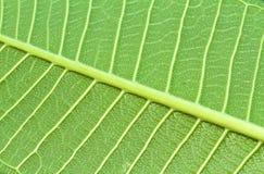 Αφηρημένη πράσινη σύσταση φύλλων για το υπόβαθρο (Frangipani, Plumeria Στοκ Εικόνα