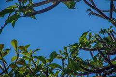 Αφηρημένοι κλάδοι του δέντρου Plumeria με το υπόβαθρο μπλε ουρανού Στοκ Εικόνες