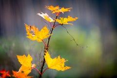 Αφηρημένος κλαδίσκος σφενδάμνου φθινοπώρου Στοκ φωτογραφία με δικαίωμα ελεύθερης χρήσης