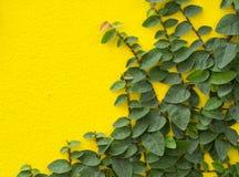 Αφηρημένος πράσινος κίτρινος τοίχος της κολοκύθας κισσών για το υπόβαθρο Στοκ φωτογραφίες με δικαίωμα ελεύθερης χρήσης