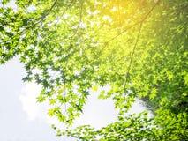Αφηρημένος πράσινος κλάδος δέντρων σφενδάμνου Στοκ Εικόνα