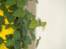 Αφηρημένος πράσινος τοίχος στο άσπρο υπόβαθρο της κολοκύθας κισσών για το υπόβαθρο Στοκ Φωτογραφίες