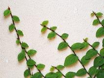 Αφηρημένος πράσινος τοίχος της κολοκύθας κισσών για το υπόβαθρο Στοκ φωτογραφία με δικαίωμα ελεύθερης χρήσης