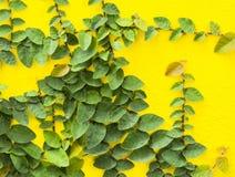 Αφηρημένος πράσινος τοίχος της κολοκύθας κισσών για το υπόβαθρο Στοκ εικόνες με δικαίωμα ελεύθερης χρήσης