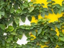 Αφηρημένος πράσινος τοίχος της κολοκύθας κισσών για το υπόβαθρο Στοκ εικόνα με δικαίωμα ελεύθερης χρήσης