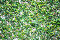Αφηρημένος πράσινος τοίχος της κολοκύθας κισσών Στοκ Φωτογραφία