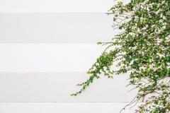 Αφηρημένος πράσινος τοίχος της κολοκύθας κισσών Στοκ Εικόνες