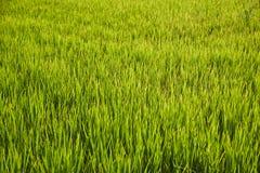 Αφηρημένος πράσινος τομέας ρυζιού Στοκ φωτογραφία με δικαίωμα ελεύθερης χρήσης