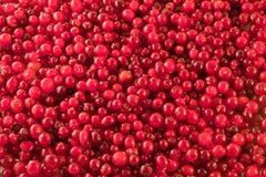 αφηρημένος στενός cowberry ανασκόπησης φρέσκος επάνω κλείστε επάνω Στοκ Εικόνες