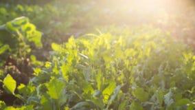 Αφηρημένος τομέας γεωργίας θαμπάδων φυτικός Στοκ Εικόνες