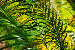 αφηρημένος φοίνικας neodypsis φύλ&lam Στοκ Εικόνα