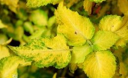 Αφηρημένο κιτρινοπράσινο υπόβαθρο φύσης φύλλων - Coleus Blumei - Plectranthus Scutellarioides Στοκ Φωτογραφίες
