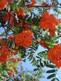 αφηρημένο κολάζ rowenberries στοκ εικόνα