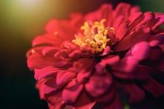 Αφηρημένο λουλούδι της Zinnia θαμπάδων κόκκινο που ανθίζει στο μουτζουρωμένο υπόβαθρο Στοκ Εικόνες