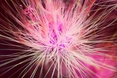 Αφηρημένο λουλούδι albizia στοκ εικόνες
