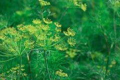 αφηρημένο λουλούδι πεδίων άνηθου βάθους σύνθεσης ρηχό Στοκ εικόνες με δικαίωμα ελεύθερης χρήσης
