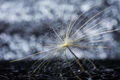 Αφηρημένο λουλούδι πικραλίδων με τις πτώσεις και bokeh το υπόβαθρο νερού Στοκ Εικόνες