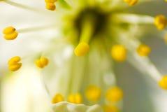 αφηρημένο πέταλο κερασιών Στοκ Φωτογραφίες