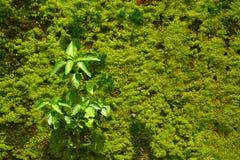 Αφηρημένο πράσινο βρύο στο υπόβαθρο τοίχων Στοκ Εικόνα