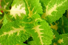 Αφηρημένο πράσινο κίτρινο υπόβαθρο φύσης φύλλων - Coleus Blumei - Plectranthus Scutellarioides Στοκ Εικόνα