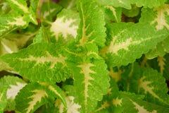 Αφηρημένο πράσινο κίτρινο υπόβαθρο φύσης φύλλων - Coleus Blumei - Plectranthus Scutellarioides Στοκ Εικόνες