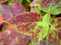 Αφηρημένο πράσινο καφετί υπόβαθρο φύσης φύλλων - Coleus Blumei - Plectranthus Scutellarioides Στοκ Εικόνες