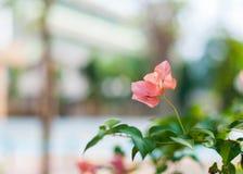 Αφηρημένο ρόδινο λουλούδι bougainvillea με το υπόβαθρο θαμπάδων Στοκ Φωτογραφίες