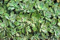 Αφηρημένο σχέδιο ερήμων φυτών ανασκόπησης κάκτων Στοκ Εικόνες